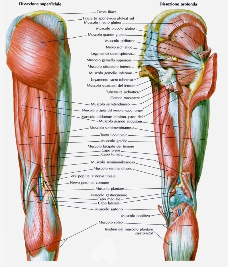Allenamento dei muscoli posteriori delle cosce sport e for Interno e esterno coscia esercizi