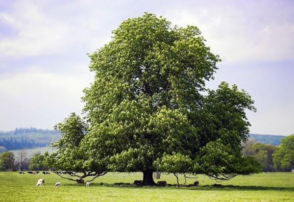 castagno-come-coltivarlo